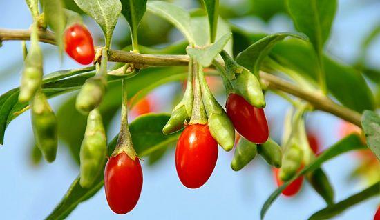свежие ягоды годжи
