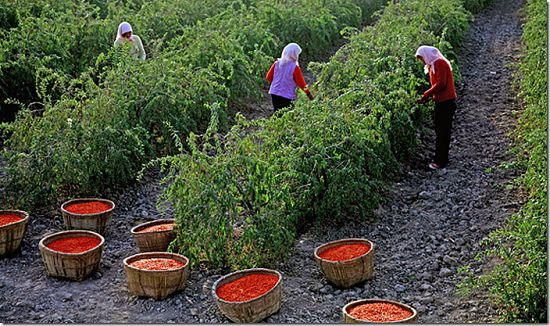 как собирают ягоды годжи