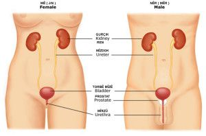 Urinary_tract_anatomy