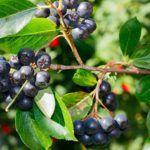 Черноплодная рябина повышает или понижает давление