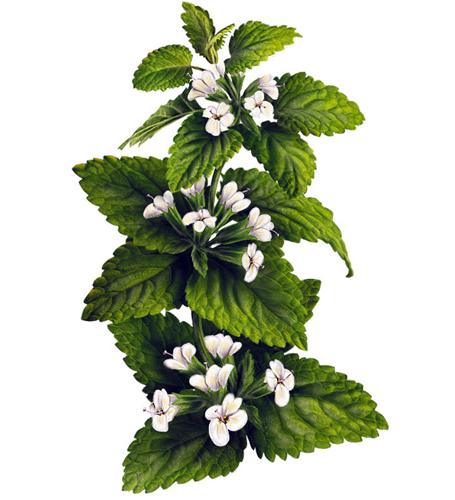 Цветы мелиссы