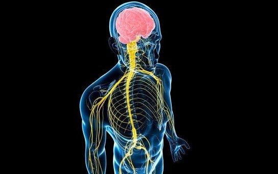 Соматическая нервная система и её роль в организме