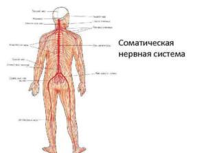 Соматическая нервная система