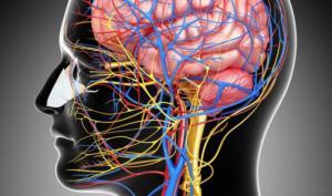 Что такое нервная система