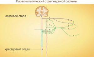 Нервная система и ее особенности