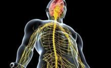 Центральная нервная система и ее роль