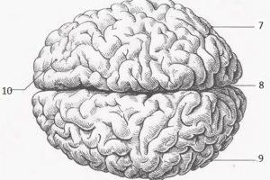 Кора головного мозга: особенности