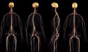 Онтогенез нервной системы