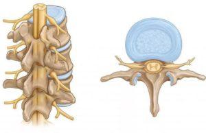Спинной мозг и его функции