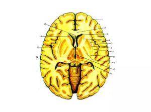 Строение хвостатого ядра